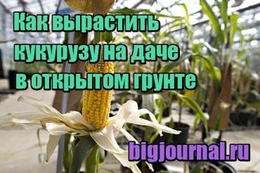 картинка Как вырастить кукурузу на даче в открытом грунте